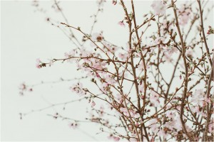 cherry-blossoms-blum